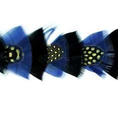 """P4020 Black & Blue Feather Trim Pre-Cut 36"""""""