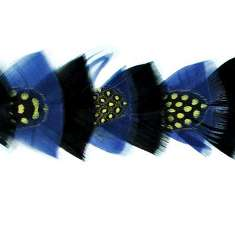 P4020 Black & Blue Feather Trim Pre-Cut 36""